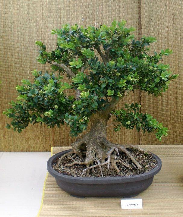 pics of boxwood bonsai | Boxwood bonsai