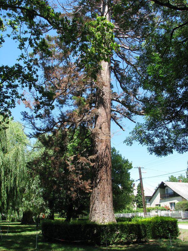 200 éves mamutfenyő (Zalahaláp) http://www.turabazis.hu/latnivalok_ismerteto_5076 #latnivalo #zalahalap #turabazis #hungary #magyarorszag #travel #tura #turista #kirandulas