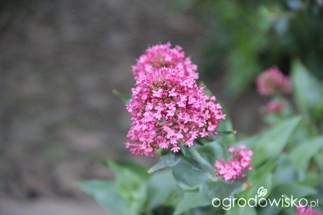 Rośliny na suche i słoneczne stanowiska - strona 4 - Forum ogrodnicze - Ogrodowisko
