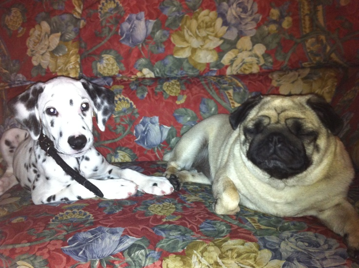 Dalmata & Pug