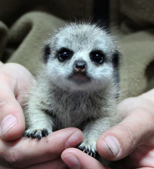 Zoo Keepers Save Orphaned Baby Meerkat at Chessington World of Adventures Resort