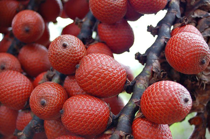 Buriti / miriti (Mauritia flexuosa L. f., Arecaceae (Palmae)) Origem: Brasil