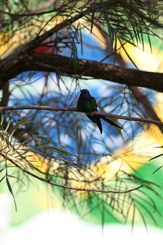O Beija-flor Tesoura