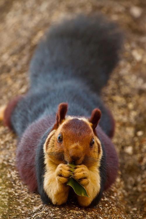 Giant purple Indian squirrel.