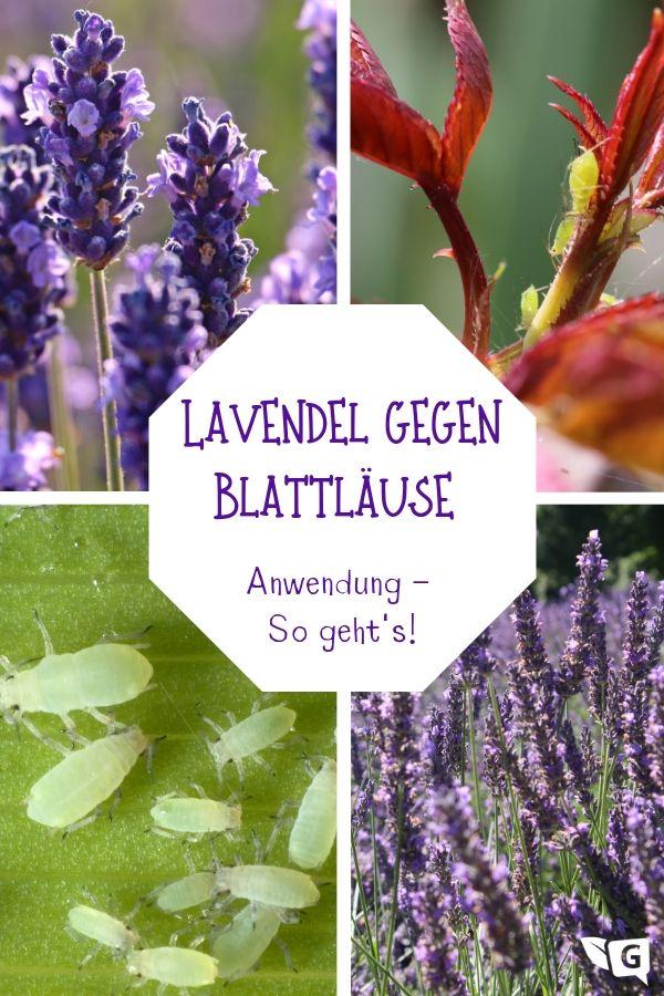 Lavendel Gegen Blattläuse