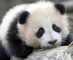 ♥: Baby Pandas,  Pandas Bears, Giants Pandas, Baby Animal,  Ailuropoda Melanoleuca, Adorable, Pandabear,  Coon Bears, Panda Bears