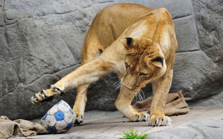 Three fun shots of lions to start today's Pictures of the Day gallery. Here we have a lioness showing off her ball control at the Tierpark Hagenbeck zoo in Hamburg, Germany...