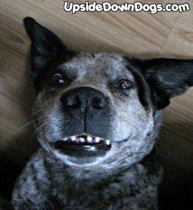 7 year old male australian cattle dog