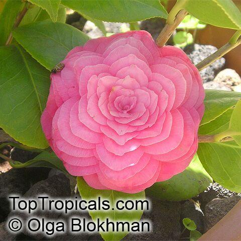 - Camellia Japonica - Google Search