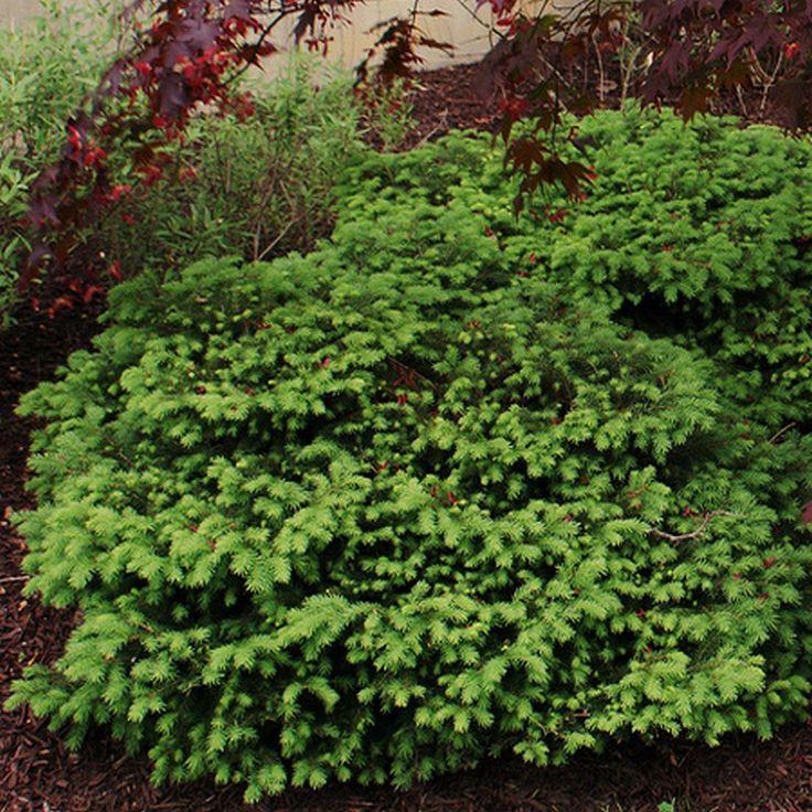 Picea abies 'Nidiformis' - Epicea nain étalé - Sapin en forme de nid