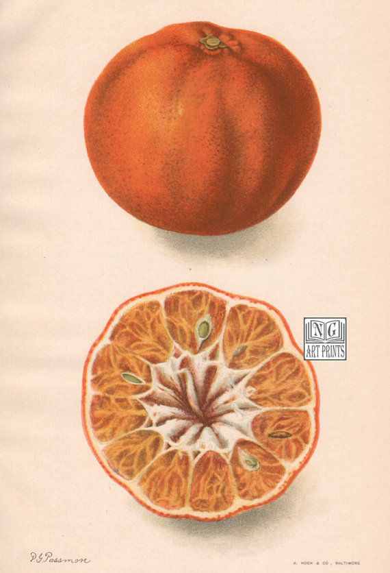 Over 110 years-old, this original antique citrus print is from the USDA's Division of Pomology. Established in 1886 to collect and disseminate