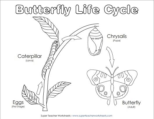 Your students will have fun coloring this diagram of the life cycle of a butterfly!