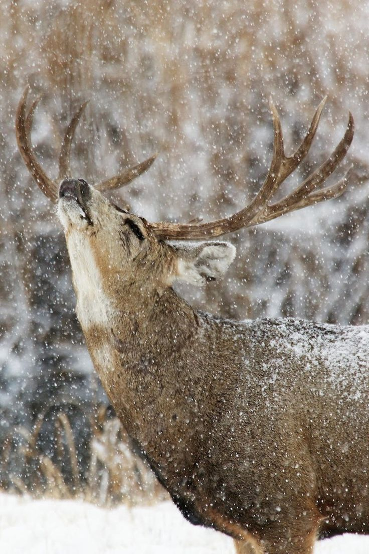 Stag in the snow...The Tweed Fox