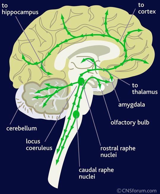 Locus caeruleus – Locus coeruleus || Med-koM