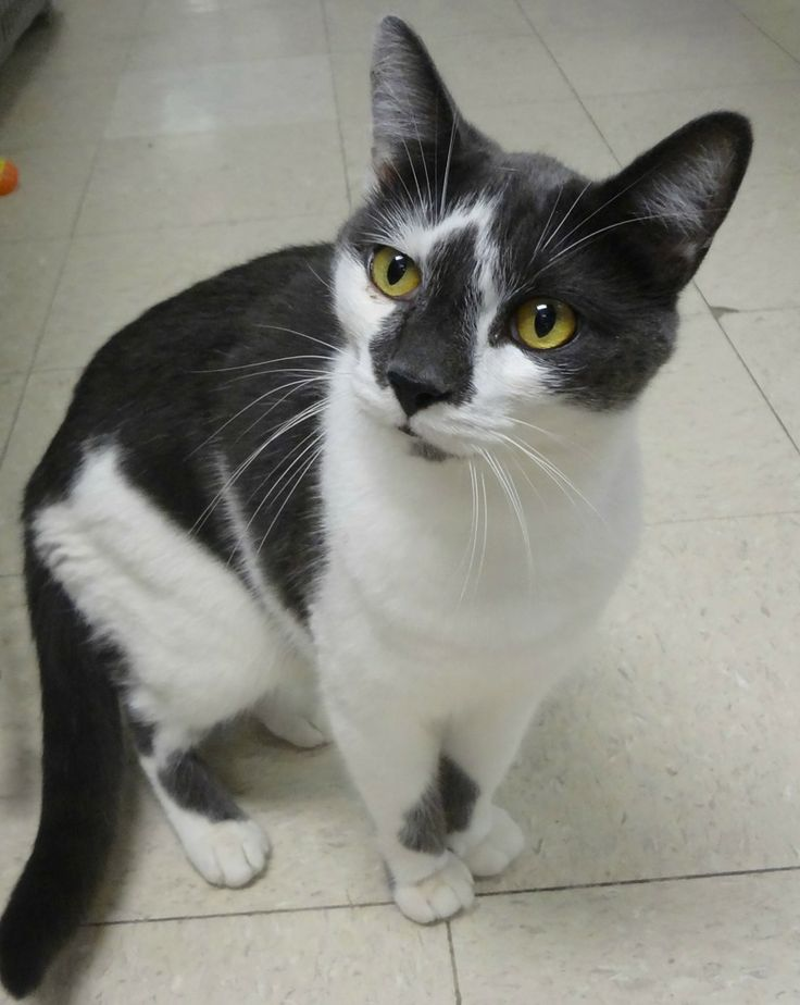 Cry Baby • Domestic Short Hair - gray and white • Adult • Male • Humane Society of Charles County MD;  Waldorf, MD