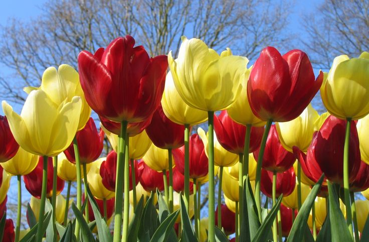 Red and Yellow tulips symbolize love and friendship - and will brighten any February day.