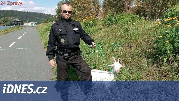 Strážníci vytáhli z Vltavy zraněnou kozu, do řeky ji nejspíš zahnal pes