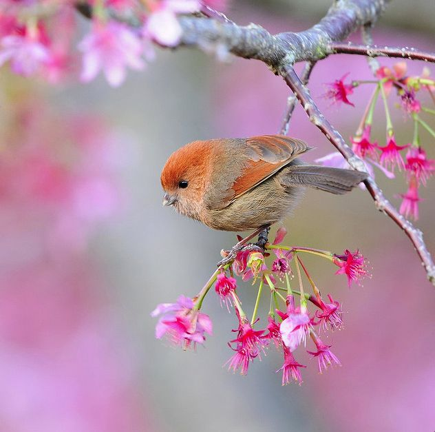 Cherry tree blossom by Mirror Lake.  Such a cute bird too!  Just wanna squeeze it! :)