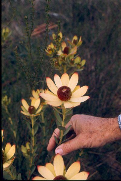 Ginny! Leucadendron 'Cloudbank Ginny' • Australian Native Plants Nursery • Plants • 800.701.6517