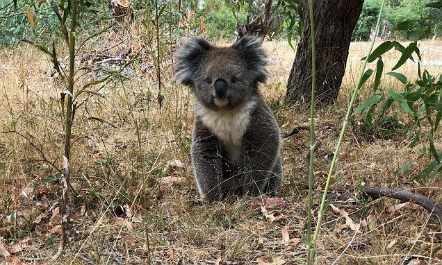 Un-BEAR-ably cute! Internet swoons over most the most 'perfect' koala