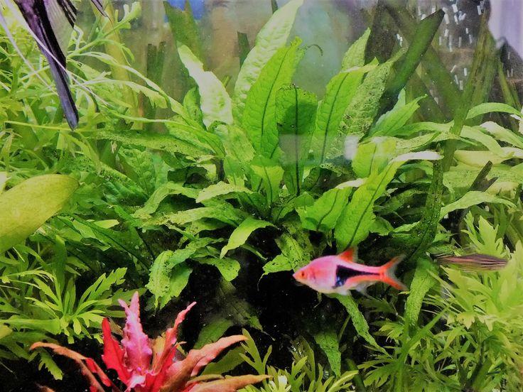 72 best les plantes d 39 aquarium d 39 eau douce images on pinterest fish tanks water plants and