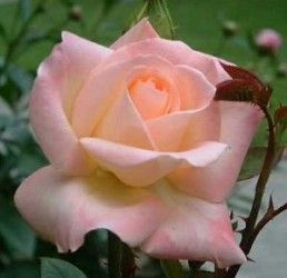Diana Princess of Wales Rose Bush Flower Seeds
