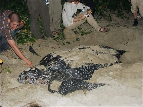 Leatherback Turtle, Manzanilla Beach,