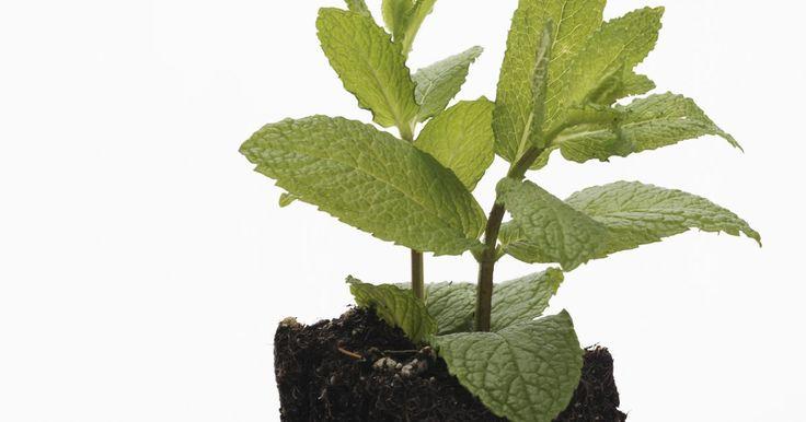Cómo trasplantar menta. La menta es una de las hierbas más cultivadas en jardines domésticos con fines culinarios. Existen unas 40 variedades de menta, una hierba perenne que se caracteriza por su tallo cuadrado y su fresco pero penetrante aroma. Se trata de una planta prolífica que no es muy difícil de cultivar. De hecho, hasta puede volverse invasiva y apoderarse ...