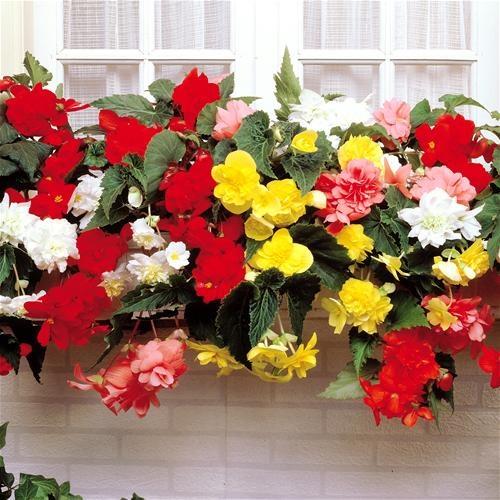 23 best images about begonias on pinterest. Black Bedroom Furniture Sets. Home Design Ideas