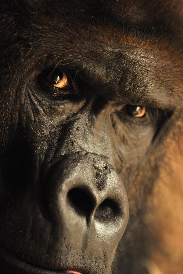 Gorilla, photo by Stanislav Duben: Gorilla Eye, Animal Kingdom, Mountain Gorilla, Stanislav Duben, Ape, Deep Thoughts, Animal Beautiful, Primate, Photo