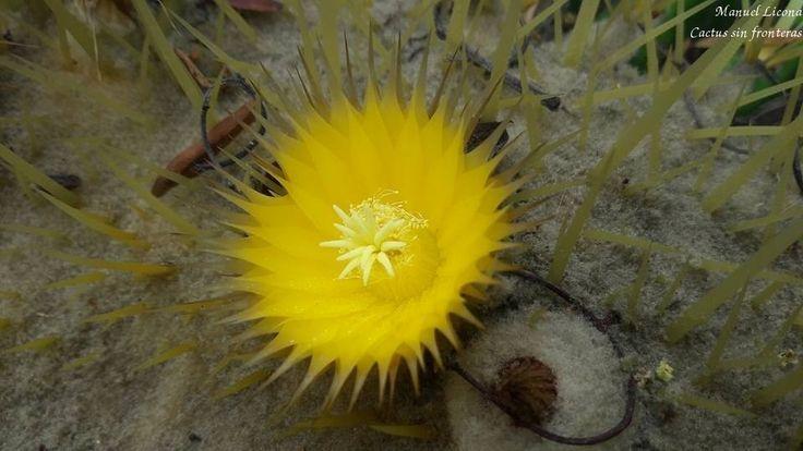 Echinocactus grusonii / Jardín Botánico UNAM / Cactus sin fronteras