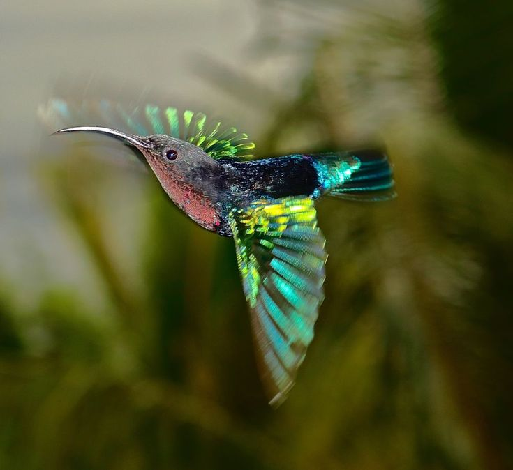 hummingbird in motion by Attila Molnar