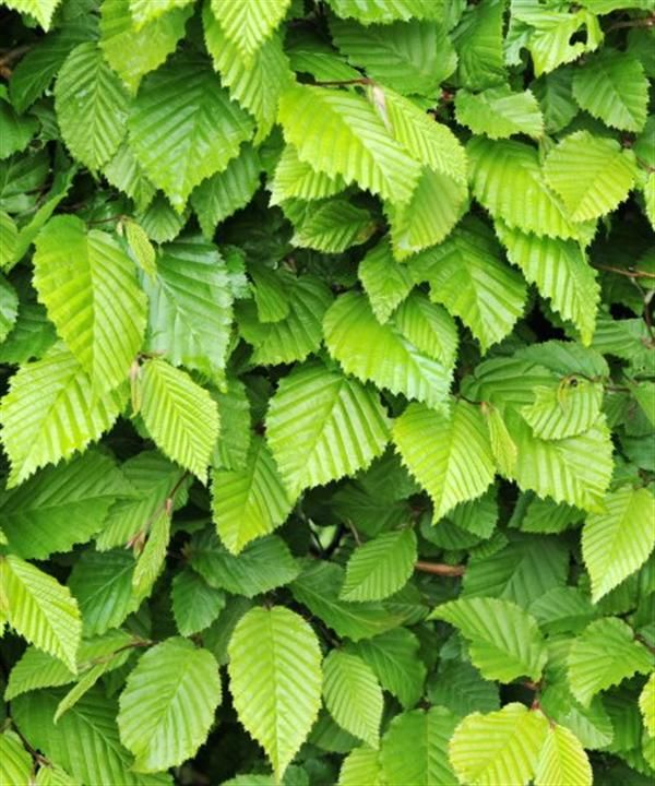 Carpinus betulus (Hornbeam). Unequally toothed edge mid green leaves. A popular hedge can be seen trained and pleached. Tolerant of clay soils and polluted areas. Very useful tree even for a small garden.