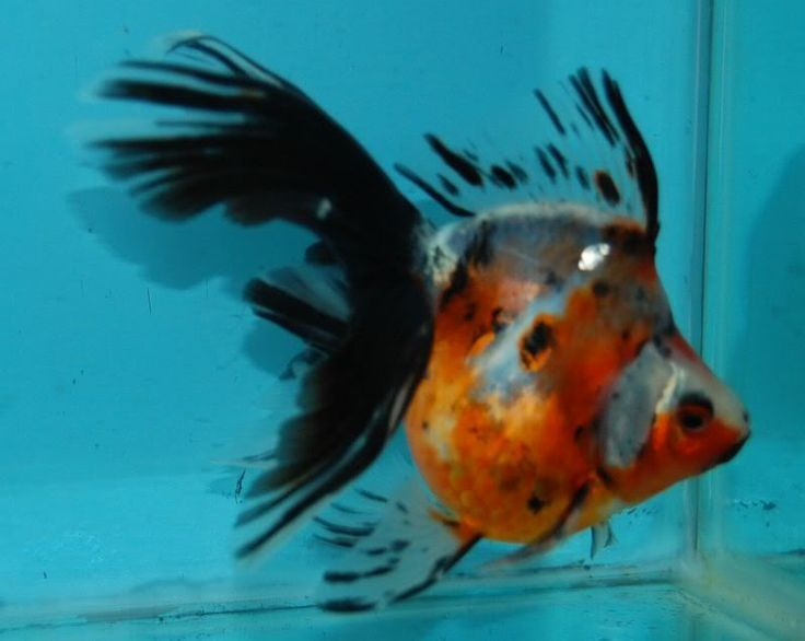 Calico Ryukin Goldfish | Calico Ryukin Goldfish | Fishyguy Goldfishes for Sale - Page 2