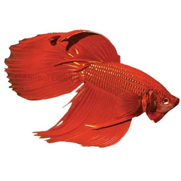 17 best images about betta siamese fighting fish on for Petsmart fish guarantee