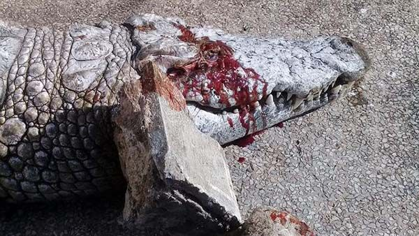 Visitors at a Tunisian zoo killed a crocodile by smashing its head in with large rocks. This animal's death could have been prevented had its enclosure been protected with proper barriers. Sign this petition to demand that the zoo do more to protect its vulnerable, captive animals.