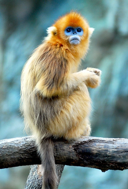 Golden snub nosed monkey... one of the coolest monkeys ever