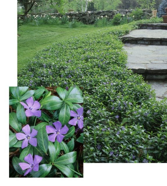 "E Ralph Shugert Periwinkle (Vinca minor 'Ralph Shugert') (5) Zones 4-9. Variegated evergreen leaves, blue flowers, creeping stems. 6""-12"" tall."