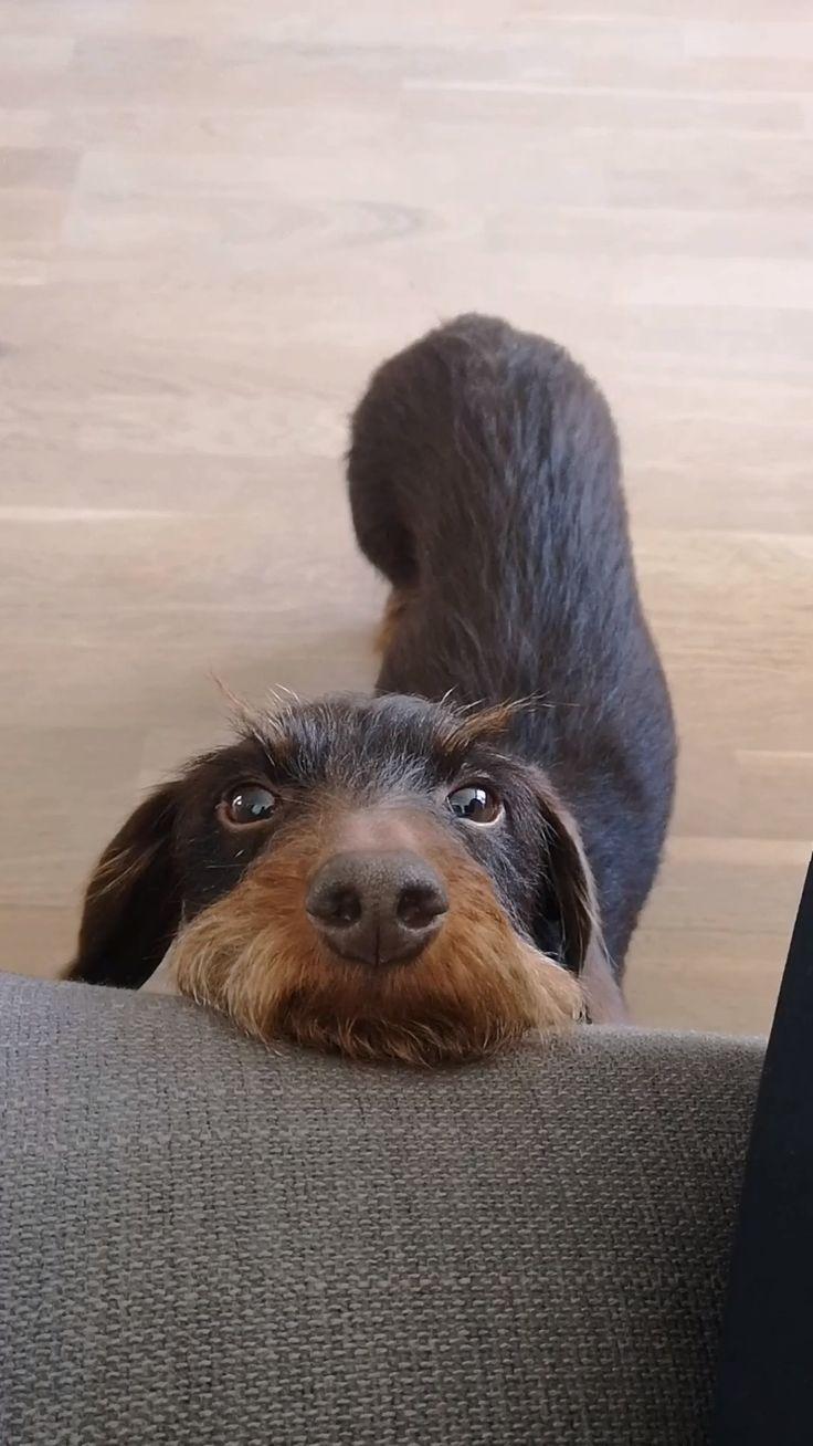 Badger Dachshund Dachshund Dog Gimli