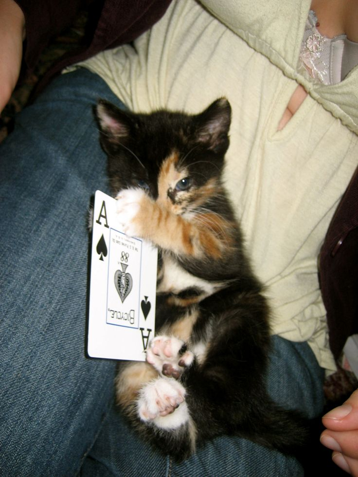 Calico Kitten playing cards Cats 1 Pinterest Calico cats