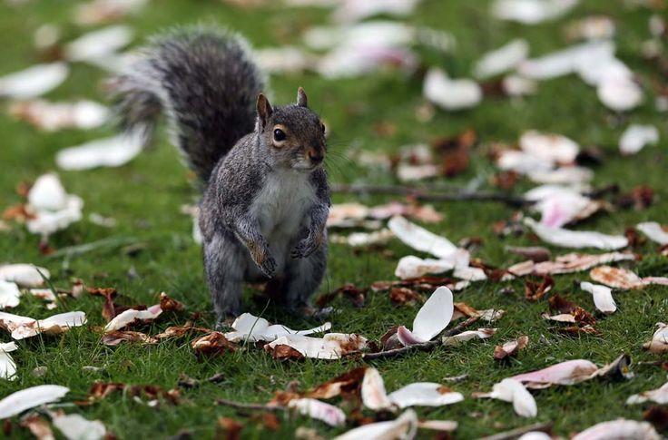 IlPost - Uno scoiattolo al Royal Victoria Park di Bath, nel Regno Unito (Matt Cardy/Getty Images) - Uno scoiattolo al Royal Victoria Park di Bath, nel Regno Unito (Matt Cardy/Getty Images)