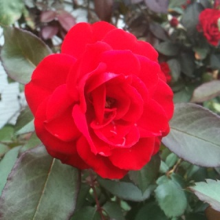 End of summer roses!!