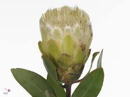 Image result for white proteas