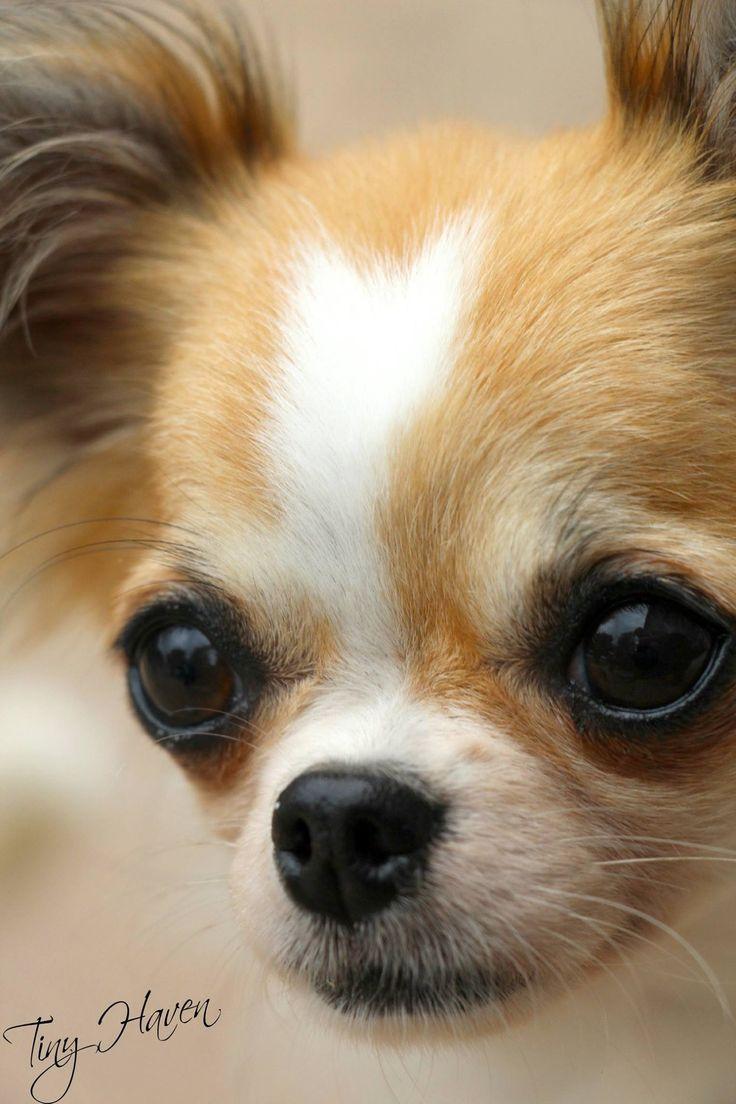 Chihuahua yuppypupcouk provides the fashion conscious