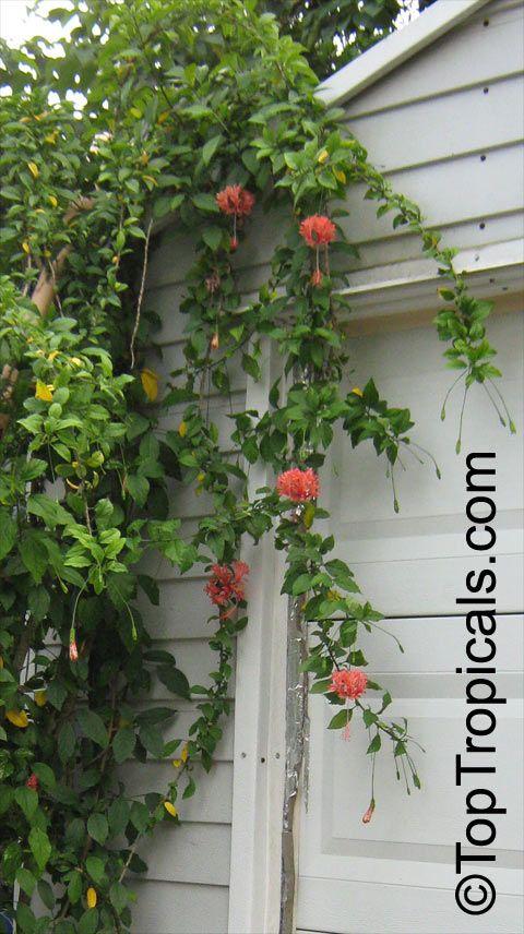 Hibiscus schizopetalus, Coral Hibiscus, Skeleton Hibiscus, Chinese Lantern, Japanese Lantern, Fringed Hibiscus