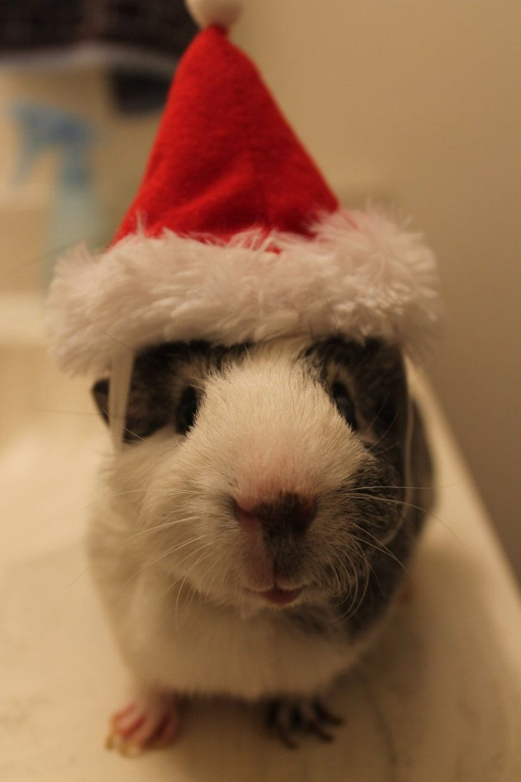 Pig Claus--I love how everyone thinks of me when they see guinea pigs. Still love them!