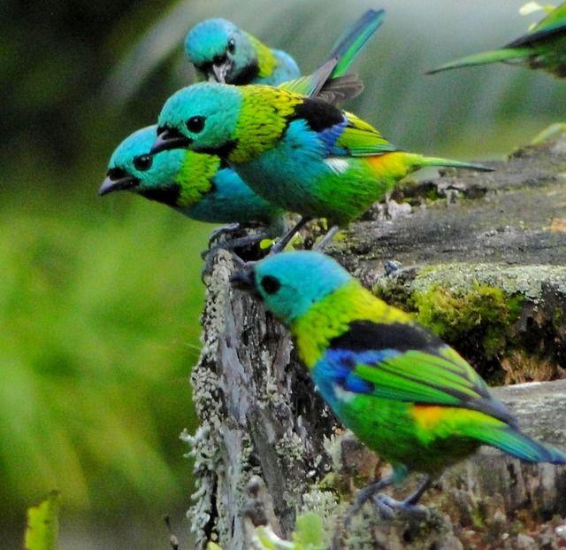 Foto saíra-sete-cores (Tangara seledon) por Marcia Carvalho | Wiki Aves - A Enciclopédia das Aves do Brasil