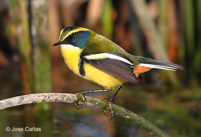 Resultado de imagen para pájaro siete colores