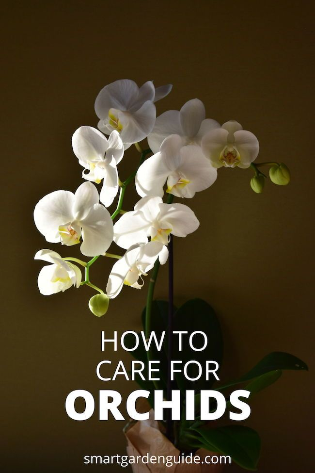 Phalaenopsis Orchid Care For Beginners How To Care For