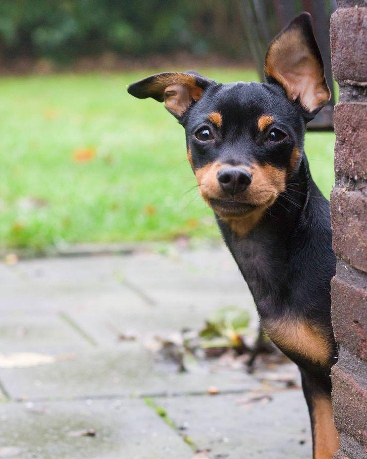 17 Best Images About Pins For Pets On Pinterest: Best 25+ Miniature Pinscher Ideas On Pinterest